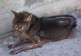 Raposa ferida no bairro Lagoa de Santo Antônio.